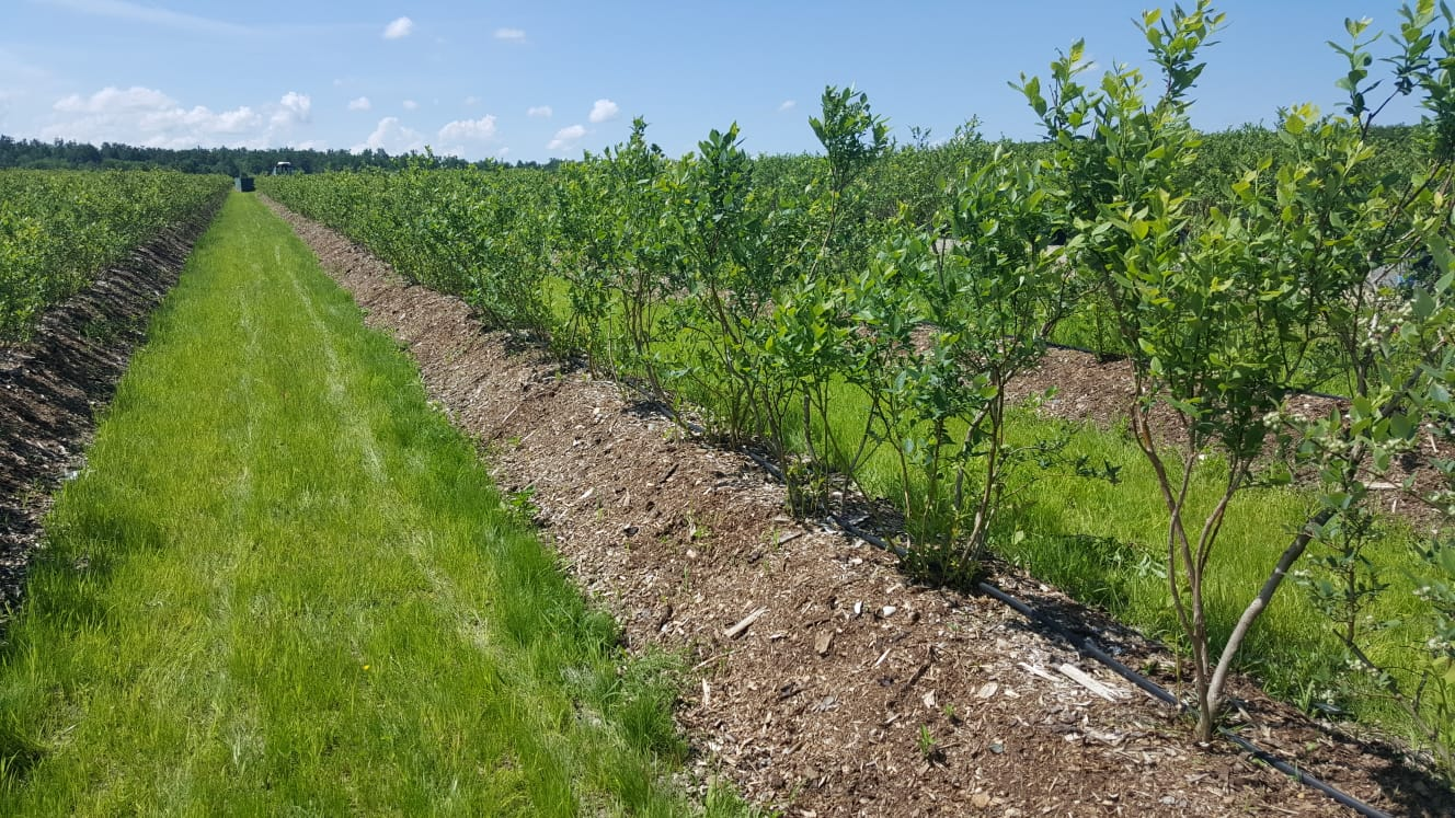 Plantatia de afini Natural Invest pe biloane acoperite cu mulci organic.